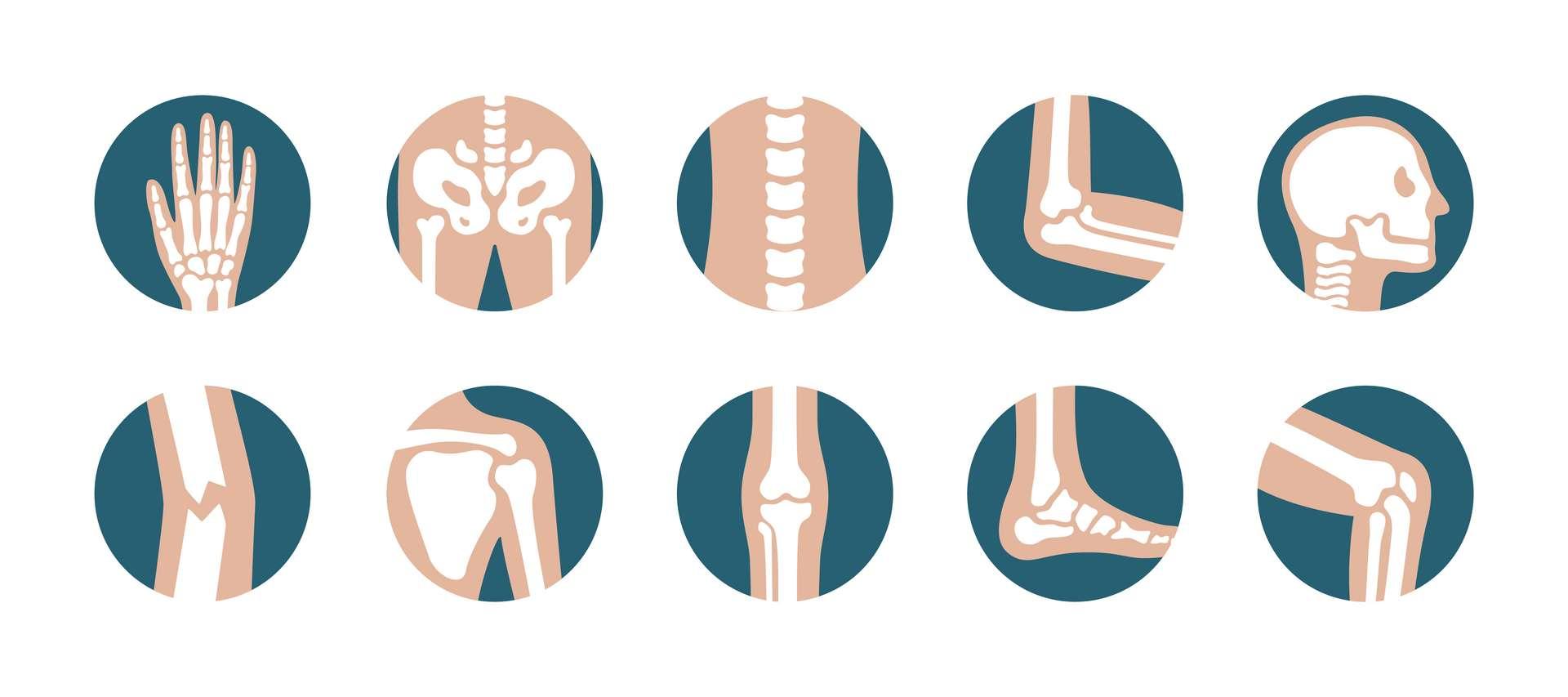 À l'âge adulte, le corps humain comporte 206 os. © Lifeking, Adobe Stock