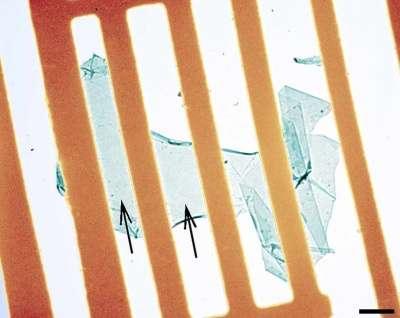 Le voile de carbone est posé sur une grille d'or. L'espacement entre les barreaux est d'environ un micron. Le trait noir, en bas à droite représente 500 nanomètres. Crédit : Max Planck Institute for Solid State Research