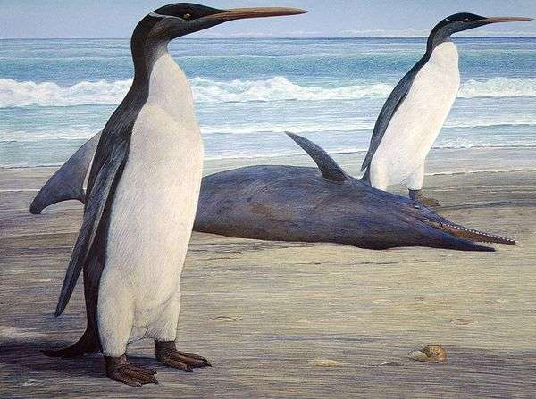 Les manchots, appelés penguins en anglais, ne doivent pas être confondus avec les pingouins. En français, le mot désigne en général les Alcidés, une famille qui regroupe notamment le macareux, le guillemot, le petit pingouin et feu le grand pingouin (exterminé au dix-neuvième siècle). © Chris Gaskin, université d'Otago