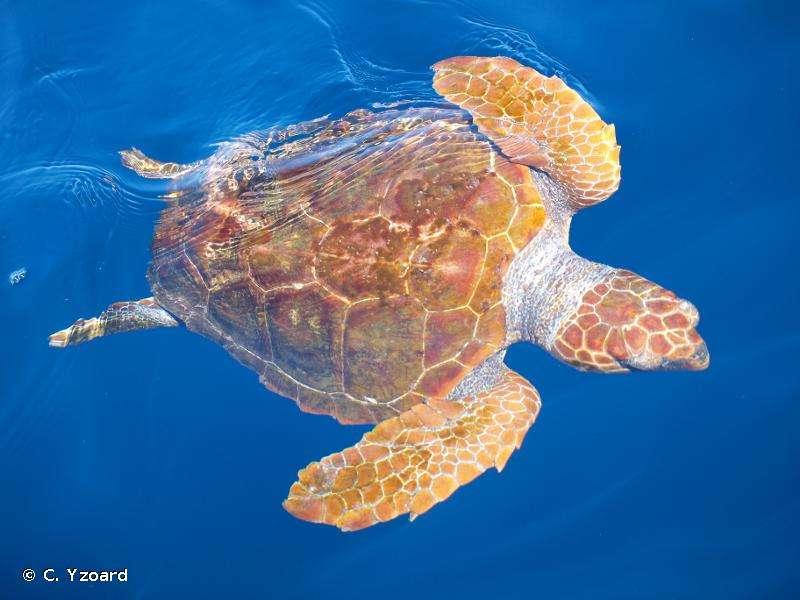 Une tortue caouanne à la surface de l'eau. © C. Yzoard