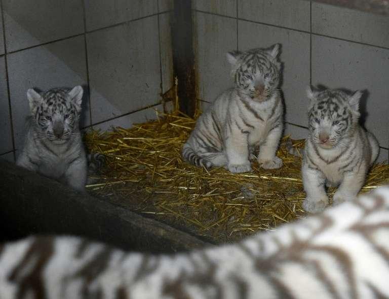 Les trois tigreaux blancs baptisés Aran, Hyun et Fouyou sont nés le 5 janvier 2020 au zoo d'Amnéville en Moselle (photographiés ici le 9 mars 2020, près de leur mère Orissa). © Jean-Christophe Verhaegen, AFP