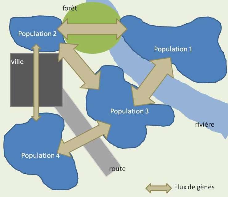 Il existe des échanges génétiques entre les différentes populations d'une métapopulation. © Bruno Scala/Futura-Sciences