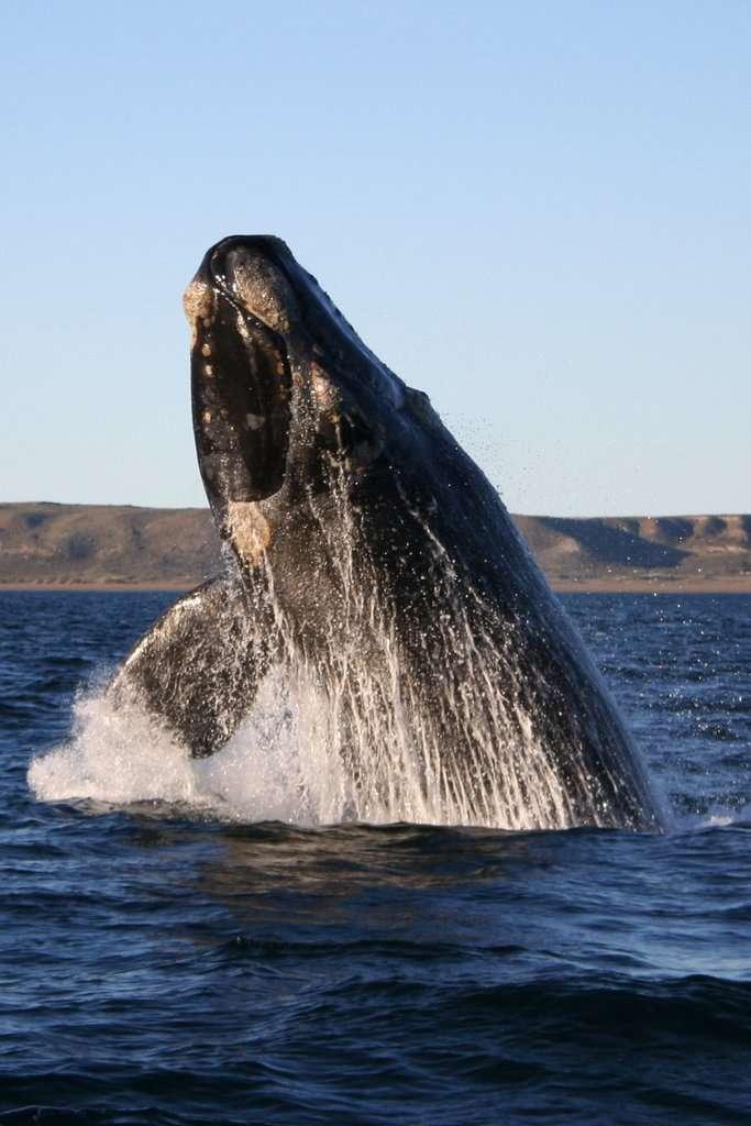 La baleine franche australe n'a pas de nageoire dorsale, et peut mesurer jusqu'à 18 m de long. Si l'espèce n'est pas menacée, elle fait face cette dernière décennie à des événements de mortalité importants, dont les causes restent obscures. © Michaël Catanzariti, Wikipédia, GNU 1.2