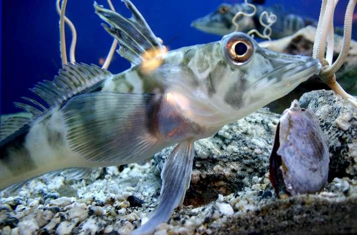 Il existe 122 espèces de notothénioïdes ou poissons des glaces. © domaine public