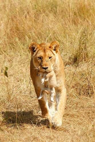 Chez de nombreux animaux, tel le lion, la mère porte son petit par la peau du cou. Cela entraîne un apaisement du lionceau. © SafariTrails.com, Flickr, cc by nc nd 2.0
