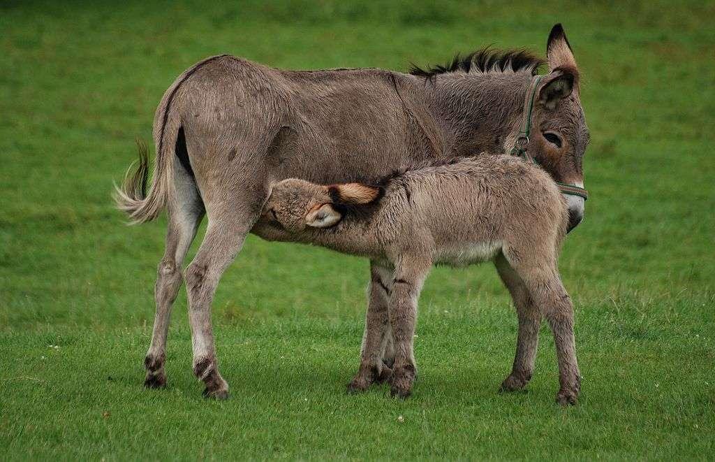 Ânon tétant sa mère. Si elle est séparée de son petit, la mère ne produit plus de lait. © Lilly M, Wikimedia Commons, cc by sa 3.0