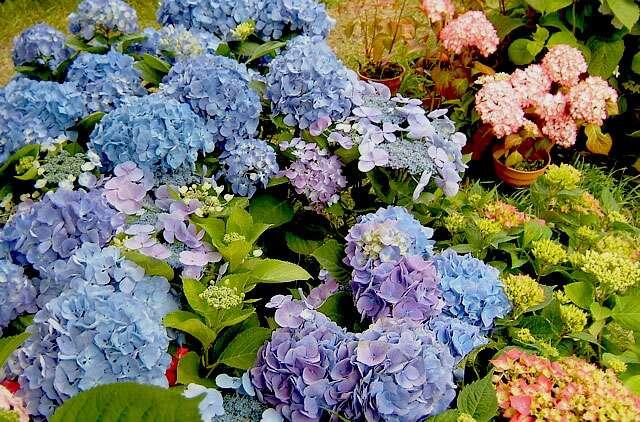 Les fleurs roses de l'hortensia - Crédit : Michel Caron