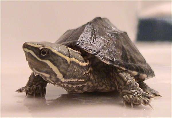 Sternotherus odoratus, ou tortue musquée, tient son nom d'une substance nauséabonde qu'elle émet afin de mettre les prédateurs en déroute. © Dawson, cc by sa 2.5