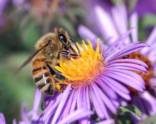 L'abeille domestique (ici Apis mellifera) souffre de plusieurs maux et nous le fait savoir... en disparaissant. De cette manière, elle nous explique aussi que quelque chose ne va pas dans la nature des pays développés, qui affecte de nombreuses espèces d'insectes pollinisateurs. © John Severns