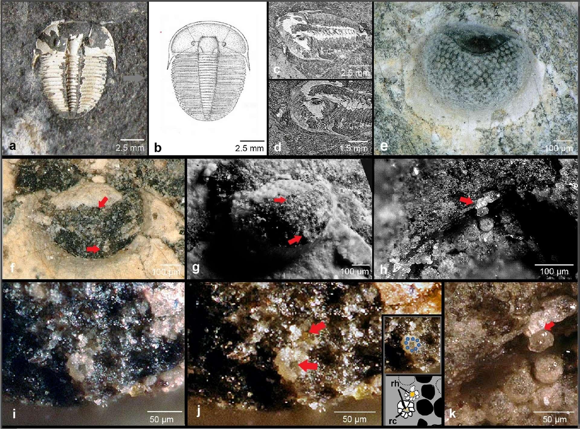 Sur les images a, b, et c se trouvent des photos et un dessin d'Aulacopleura koninckii. Sur l'image g, on observe un zoom sur le céphalon, c'est-à-dire la tête du trilobite. Ensuite, sur les images e, f, et g, l'œil est aperçu sous différents angles. Les flèches rouges indiquant les unités visuelles. Tandis que l'image h représente une unité visuelle individuelle, et l'image k (la dernière) une unité visuelle fossilisée, où la flèche rouge pointe un cône cristallin hypothétique. Au milieu, les images i et j montrent chacune une rosette formée par les fossiles des cellules réceptrices. © Brigitte Schoenemann & Euan Clarkson, Scientific Reports