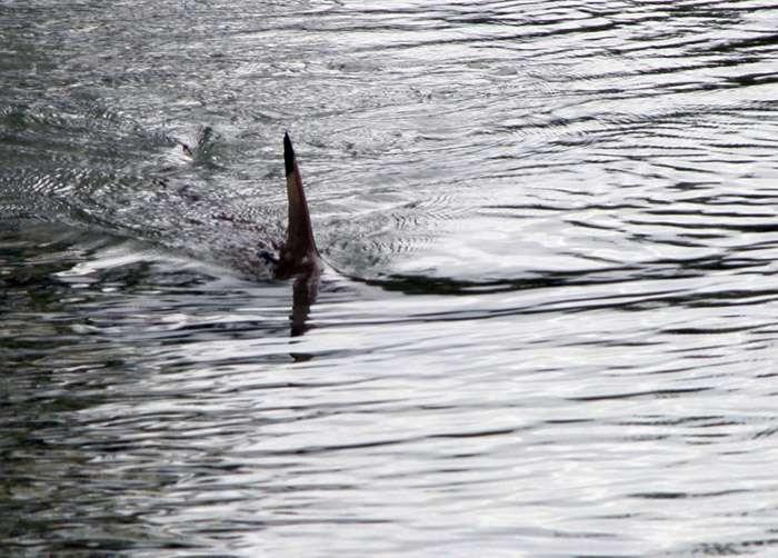 L'aileron aperçu sur les côtes de la Méditerranée appartiennent, peut-être, à un grand requin blanc. © Tom Burke / Licence Creative Commons