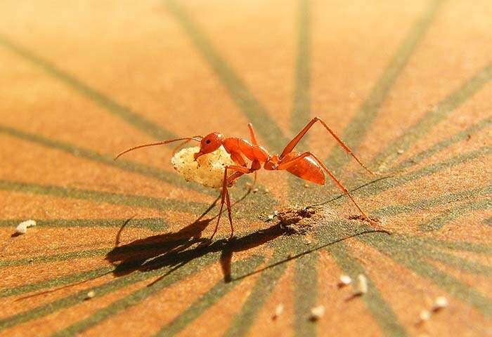 Melophorus bagoti (sur la photo), une espèce de fourmi présente dans le désert australien, a bravé les pièges des chercheurs avec Cataglyphis fortis, une espèce de fourmi parcourant le Sahara. © Antoine Wystrach et al., Current Biology