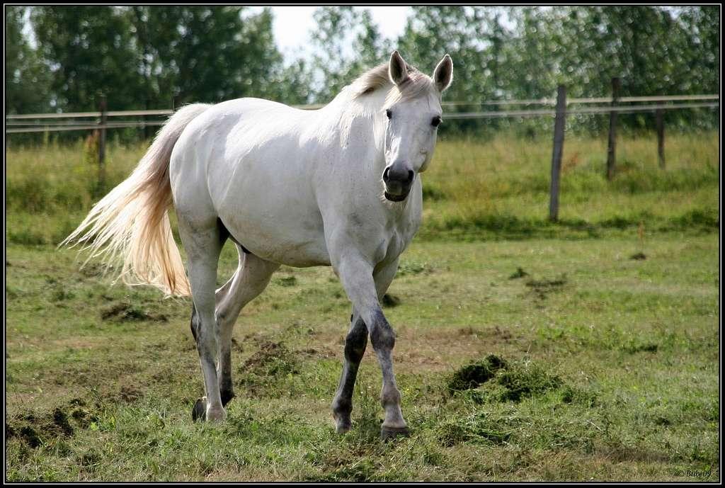 Contrairement aux autres animaux domestiques, l'anatomie des chevaux se décrit avec les mêmes termes que ceux employés pour parler de l'Homme : pied, bouche, jambe, etc. © Bube09, Flickr, CC by-nc-sa 2.0
