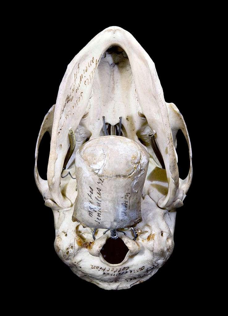 L'hyoïde est un os du cou. Au premier plan de cette image, on peut voir un os hyoïde de singe hurleur, masse imposante, une vingtaine de fois plus grosse que chez ses cousins. Chez l'Homme, il a une forme complètement différente, en U. © Didier Descouens, Muséum de Toulouse, Wikipédia, cc by sa 2.0