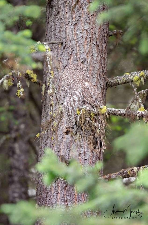 La chouette lapone est la plus grande chouette connue... elle est pourtant difficile à repérer sur sa branche ! © Alan Murphy, Facebook