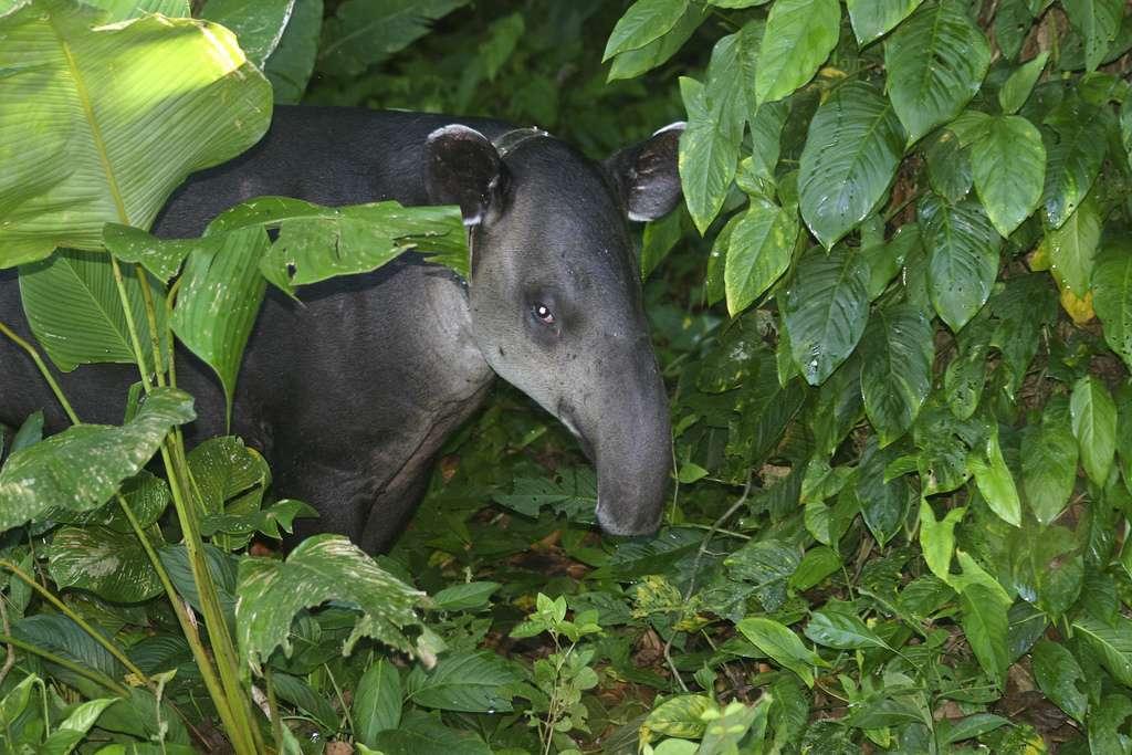 Tapir de Baird dans la forêt du Costa Rica. © brian.gratwicke, Flickr, cc by nc 2.0