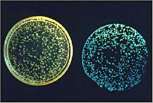 Photographie des colonies de la bactérie bioluminescente Vibrio fischeri à la lumière du jour (à gauche) et à l'obscurité (à droite). Le phénomène de bioluminescence (production de lumière par des organismes vivants) est donc visible sur la partie droite de la photo. © J.-W. Hastings, université d'Harvard et E.-G. Ruby, Université d'Hawaï, pour la National Science Foundation