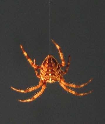 L'araignée est capable d'éviter les mouvements incontrolés de son fil, qui pourraient potentiellement attirer les prédateurs.© Anthony Carré - CNRS 2006