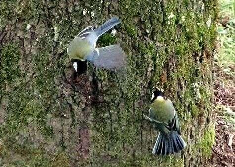 Deux mésanges charbonnières en quête d'insectes. Crédit : Françoise Delestrade