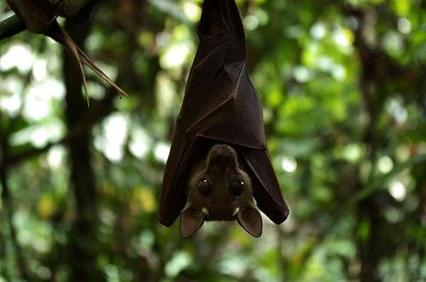 Comme un quart des mammifères, cette espèce de chauve-souris africaine encore non identifiée est menacée par la disparition de son habitat. © bayanga85, Flickr, CC by-sa 2.0