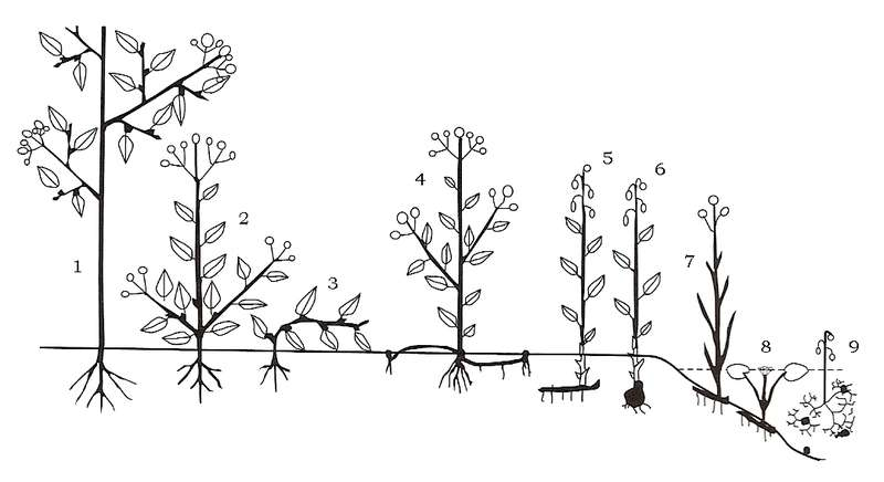 Les types biologiques de la classification de Raunkier : 1-Phanérophyte, 2/3-Chaméphyte, 4-Hémicryptophyte, 5/6-Géophyte, 7-Hélophyte, 8/9-Hydrophyte. © Sten Porse, Wikimedia CC by-sa 3.0