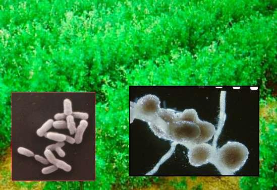 Les bactéries, à gauche, vivent dans les nodosités (à droite) des racines de fabacés. Elles transforment l'azote atmosphérique en ammoniac utilisable par leur hôte. Cette particularité apporte un avantage aux légumineuses, notamment sur les sols pauvres. © Sharon Long / Stanford