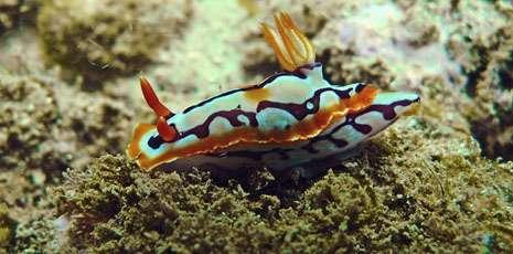 Un nudibranche marin, exemple des surprises de la biodiversité. © MNHN