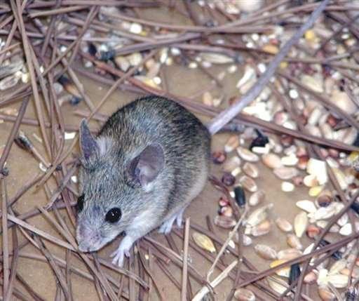 Une nouvelle espèce de souris, Mus cypriacus, a été découverte en 2006 sur l'île de Chypre. Aucun mammifère n'avait été décrit depuis plus de 100 ans. © Annie Orth, Durham University