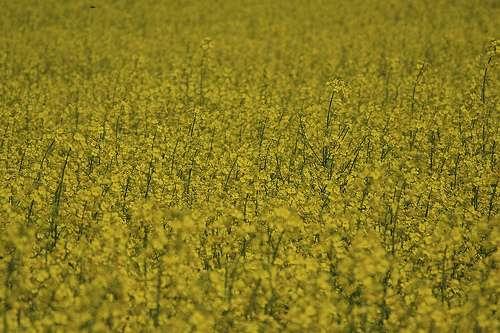 Le colza, une culture pour produire de l'huile alimentaire ou du biocarburant. Que choisir ? © Mlle Bé, cc by nc sa 2.0
