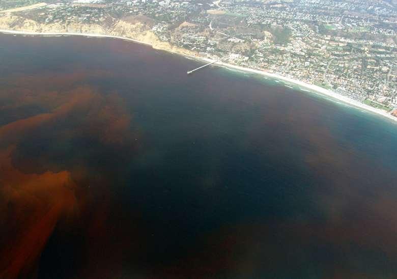 Une marée rouge est une efflorescence algale qui se traduit par une augmentation rapide de la concentration de phytoplancton. Le bloom se traduit généralement par une coloration de l'eau. Les marées rouges ne sont pas toutes toxiques, mais lorsqu'il s'agit de Karenia brevis, Hommes et animaux doivent se méfier. © Alejandro Díaz, DP