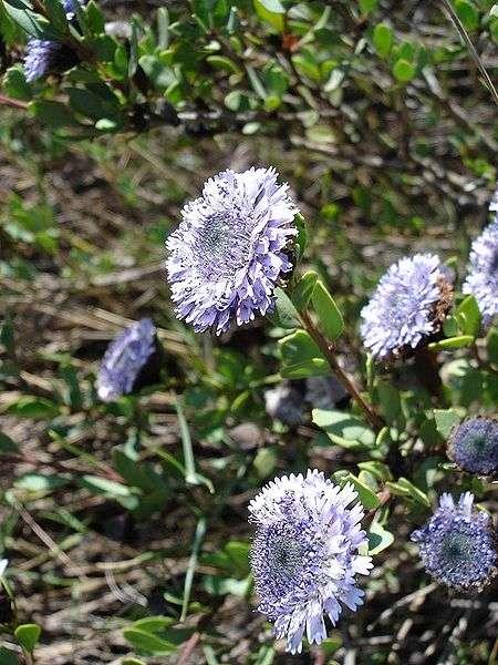 Une fleur globulaire. © Jeantosti, Wikipédia CC by sa 3.0