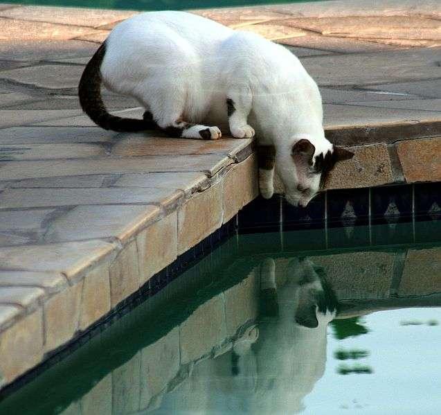Les chats utilisent un mécanisme dont l'équilibre entre l'inertie et la gravité est subtilement contrôlé. © Mila Zinkova, Wikimedia, CC by-sa 3.0
