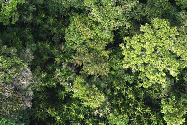 Canopée avec palmeraie à Euterpe oleracea et Mauritia flexuosa (monts Tumuc-Humac, Guyane, frontière avec le Brésil). Les cycles biogéochimiques en Amazonie sont principalement réalisés par une infime fraction des espèces d'arbres qui la peuplent. © Daniel Sabatier, IRD