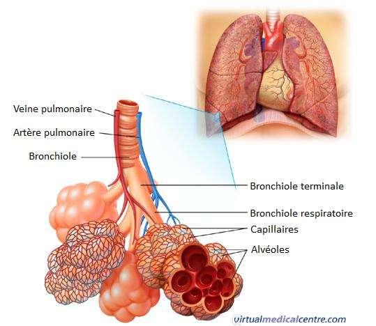 Les alvéoles pulmonaires sont situées dans les poumons et permettent les échanges gazeux respiratoires. © Virtual Medical Centre