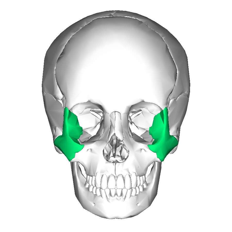 L'os zygomatique fait partie du massif facial. © en:Anatomography, Wikimedia Commons, CC by-sa 2.1