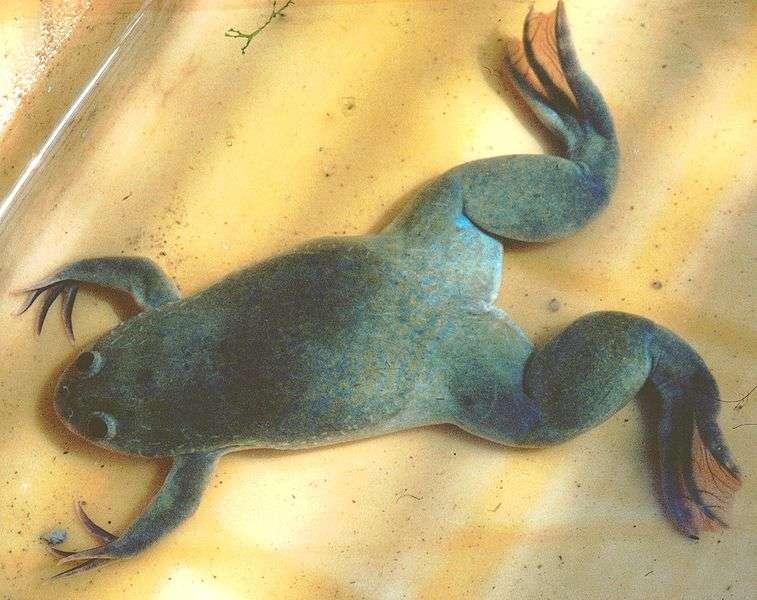 Le xénope du Cap est un animal aquatique utilisé en laboratoire. © Michael Linnenbach, Wikimedia, CC by-sa 3.0