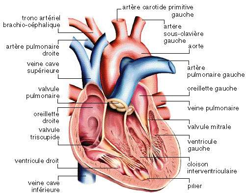 Le cœur assure la circulation du sang dans l'organisme pour alimenter le corps en oxygènes et en nutriments. © www.afblum.be