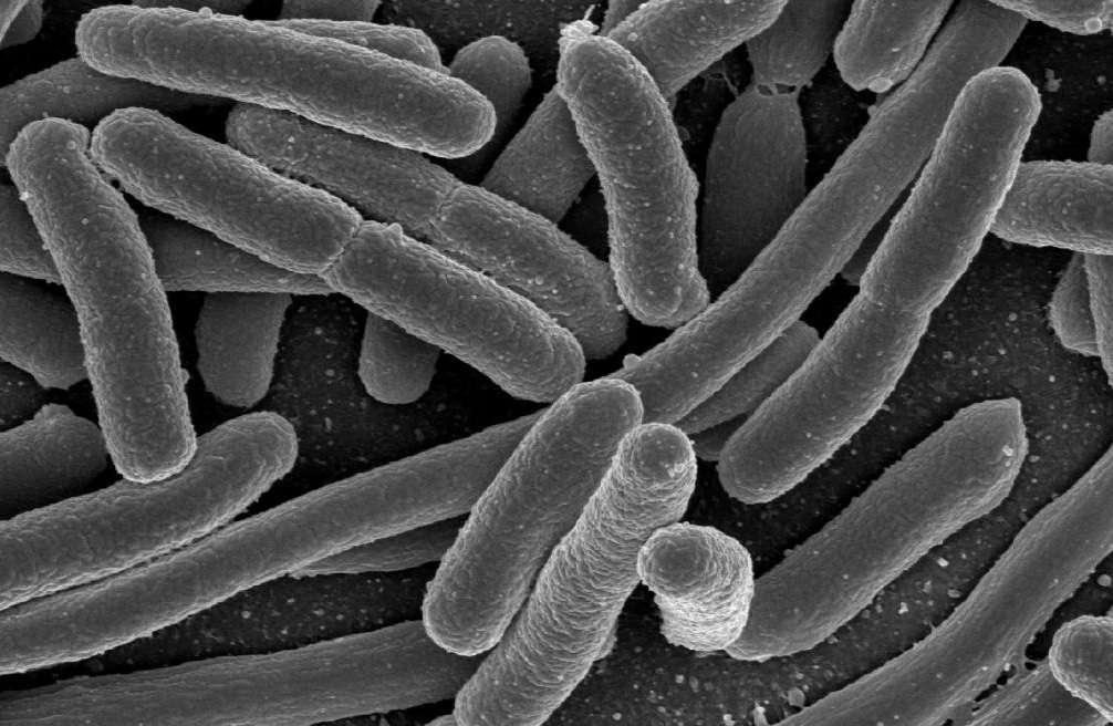 Escherichia coli, ici observée par microscopie électronique, vit dans notre intestin et sert de modèle bactérien en génétique. © Elapied, Wikimedia Commons, DP