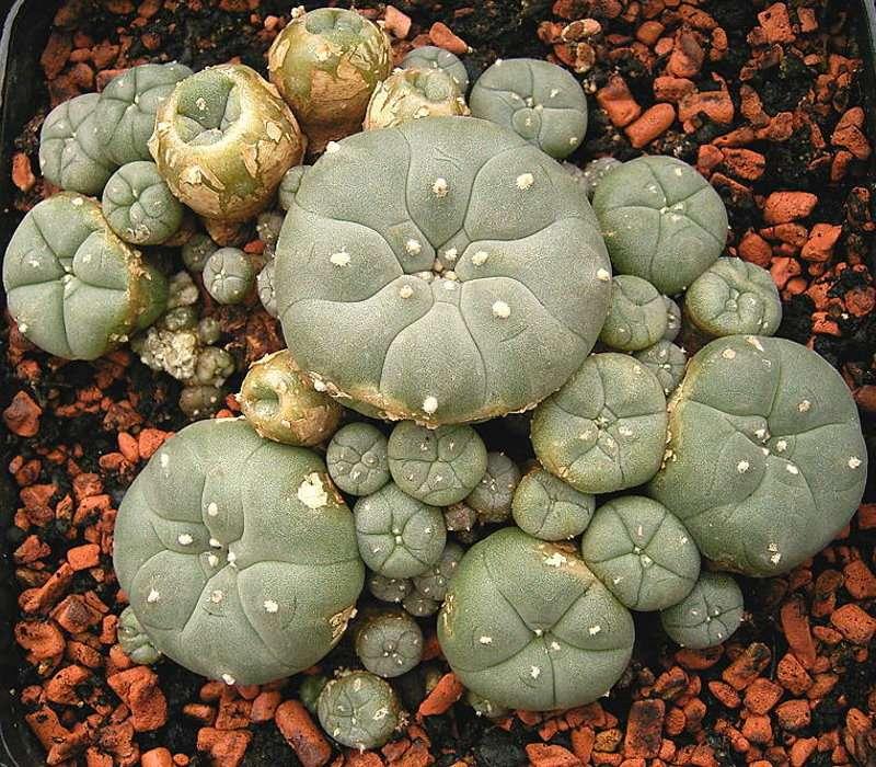 Le champignon hallucinogène Lophophora williamsii, aussi appelé peyotl. Il existe diverses espèces de champignons qui possèdent des propriétés hallucinogènes et enthéogènes différentes en fonction des molécules qu'ils contiennent. © Frank Vincentz, Wikimedia Commons, GNU 1.2