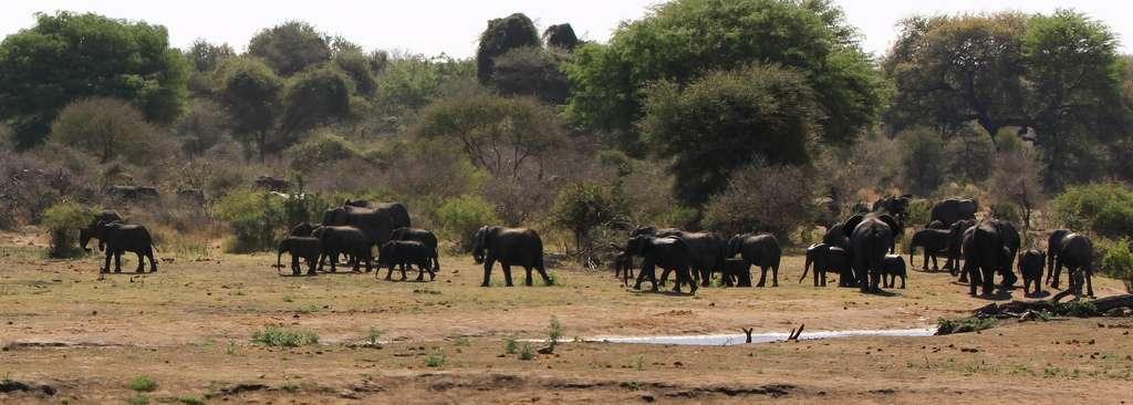 Créé en 1926, le parc national Kruger, avec ses 20.000 km2, correspond à la plus grande réserve naturelle d'Afrique du Sud. L'abattage contrôlé d'éléphants d'Afrique y a été interdit en 1994, avant d'être à nouveau autorisé en 2008. © Kristofor & Rebekah, Flickr, cc by nc sa 2.0