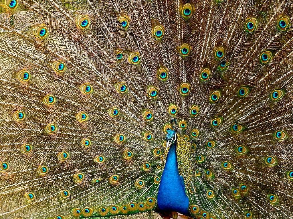 Les plumes du paon sont ornées d'ocelles, des taches à l'allure d'œil. © Jebulon, Wikipédia, GNU 1.2