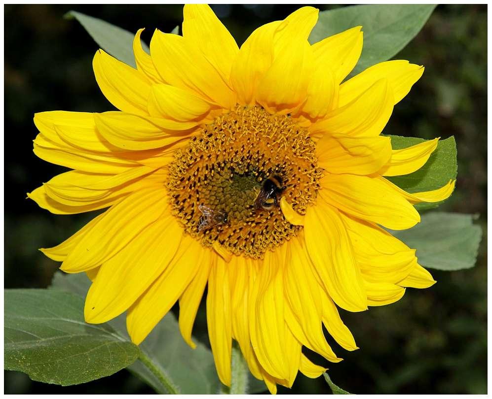 Les bourdons et les abeilles font partie de la famille des apidés (Apidae). © Dawson et Chittka 2012, Plos One