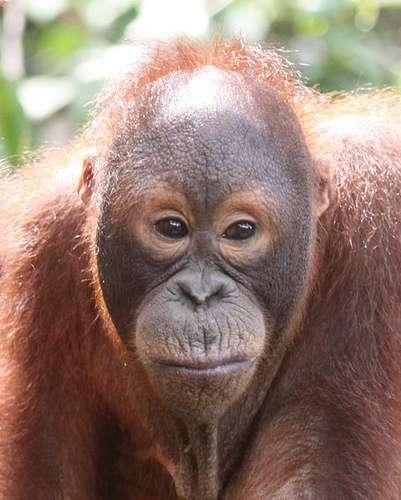 L'orang-outan de Bornéo est sur la liste rouge de l'UICN, dans la catégorie des espèces en danger. © Daniel Kleeman, Flickr, cc by 2.0