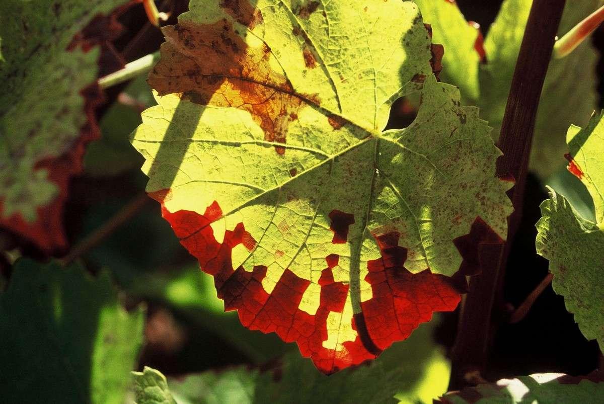 Moins de lumière, c'est moins de chlorophylle, avec comme conséquence des automnes flamboyants. © J.-B. Feldmann (http://montreurdimages.blogspot.com/)