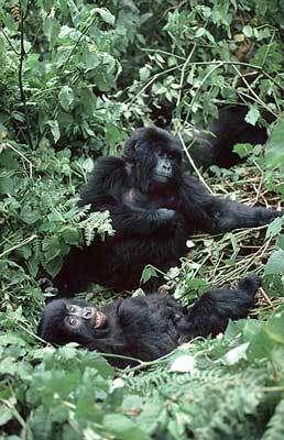 Jeune Gorille - © Unesco Ian Redmond