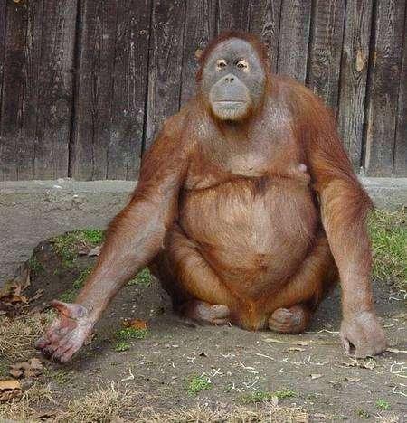 Victime des déforestations indonésiennes, l'orang-outan risque fort de disparaître. Il est devenu l'emblème de bien d'autres disparitions d'espèces, végétales et animales. © www.777life.com, usage illimité