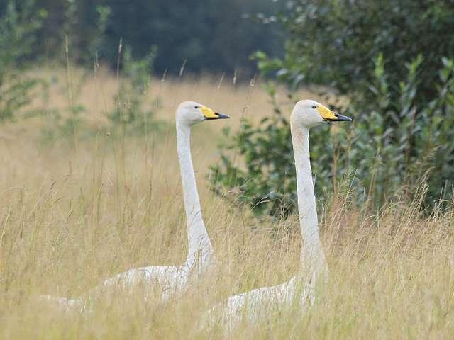 Les cygnes chanteurs sont des oiseaux de la famille des anatidés qui sont normalement monogames. © Billy Lindblom, Flickr, cc by 2.0