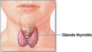 La thyroïde est une petite glande située à la base du cou. Son bon fonctionnement est crucial pour une bonne santé. Un déficit de production d'hormones thyroïdiennes (ou hypothyroïdie) entraîne de forts troubles qui demandent un traitement à vie pour être contrôlés. © NIH, Wikipédia, DP