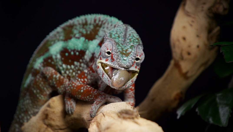 Dans la peau du caméléon