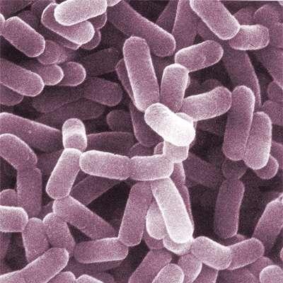 Les bactéries de la flore intestinale libèrent des acides gras à chaîne courte qui stimulent la production de molécules antimicrobiennes par le pancréas. © AJ Cann, flickr, CC by sa 2.0